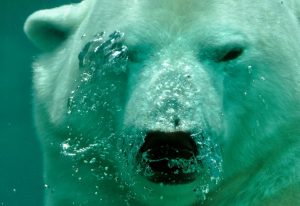polar-bear-the-bear-water