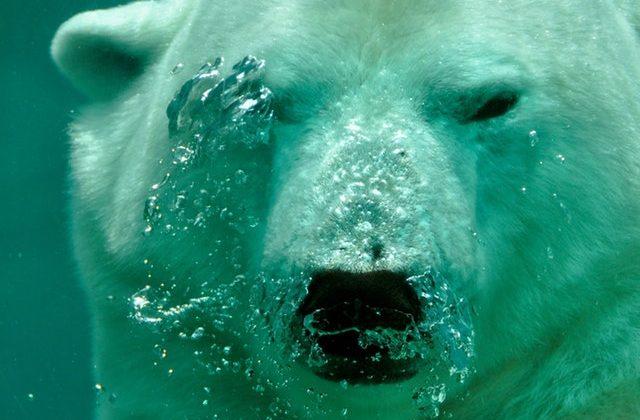 polar-bear-the-bear-water